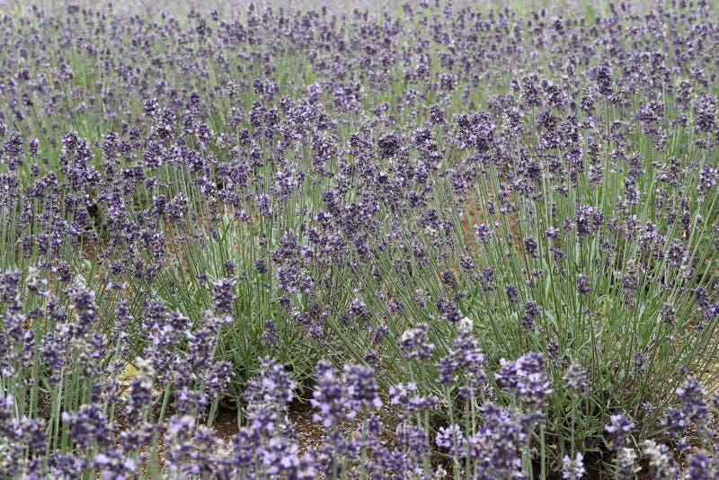 淡紫色花园  库存图片