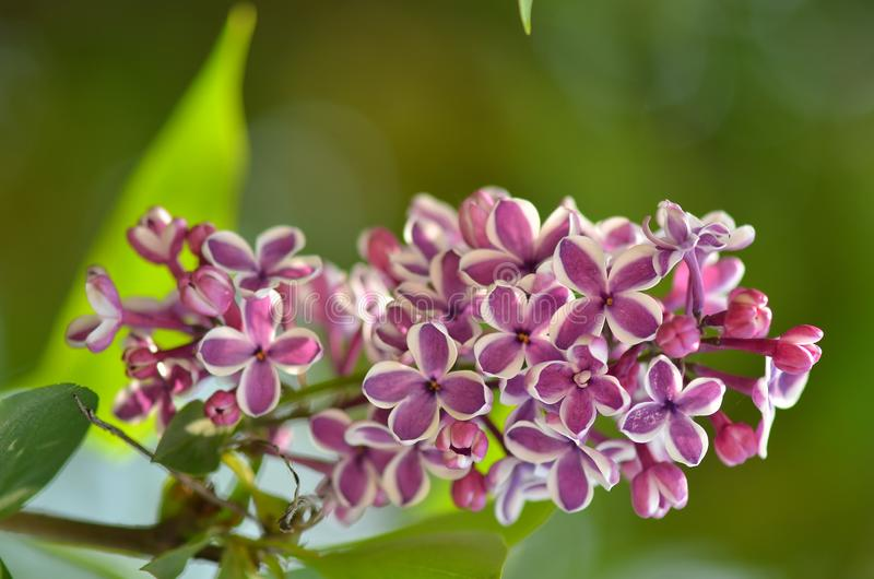 淡紫色花在庭院里在春天 免版税库存图片