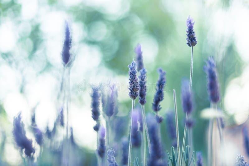 淡紫色花在阳光2下 免版税库存照片