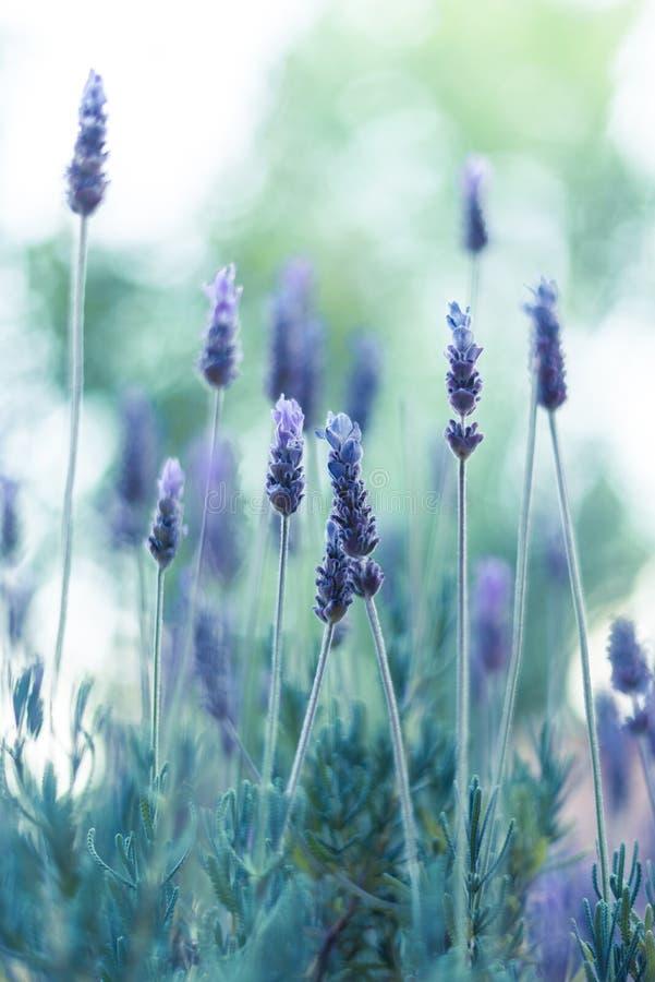 淡紫色花在阳光3下 免版税库存图片