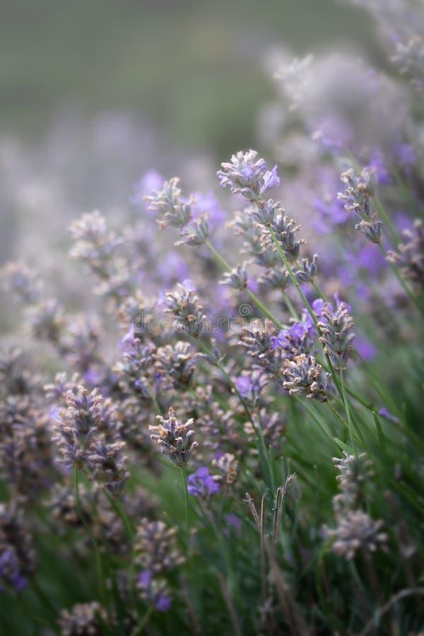 淡紫色花摘要在绽放的 免版税库存图片