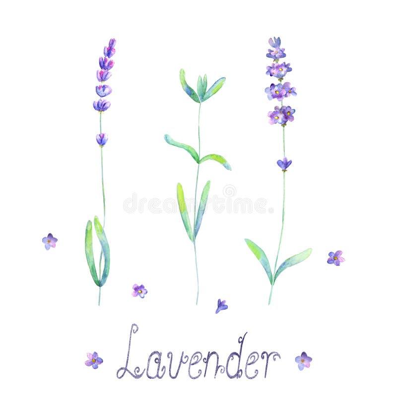 淡紫色花,在白色背景留下植物紫色绿色水彩被设置被隔绝 库存例证