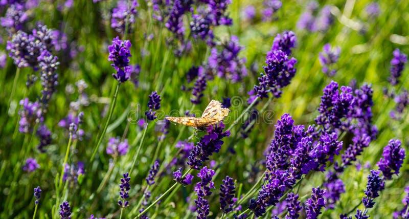 淡紫色花,特写镜头观点的在淡紫色开花的一只蝴蝶在春天 免版税库存图片