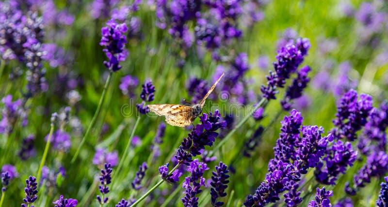 淡紫色花,特写镜头观点的在淡紫色开花的一只蝴蝶在春天 免版税库存照片