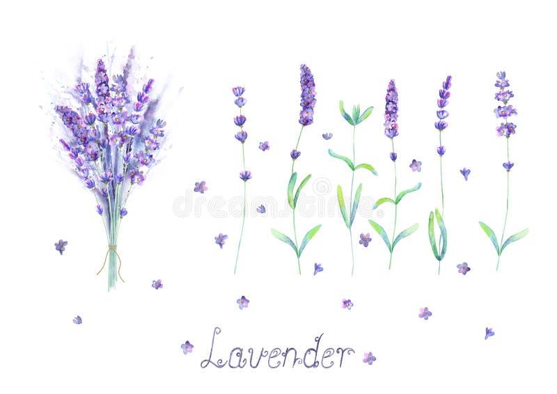 淡紫色花,花束,在白色背景隔绝的紫色绿色水彩集合上写字 皇族释放例证