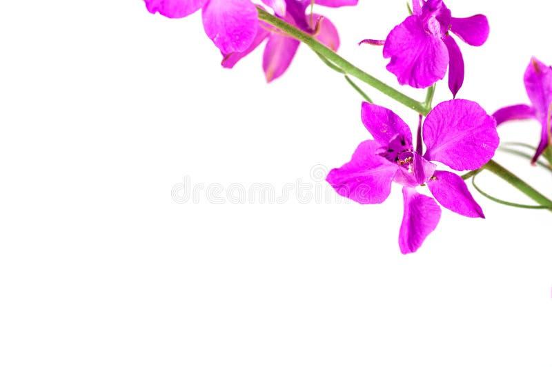 淡紫色花`海狮`,领域 免版税库存照片