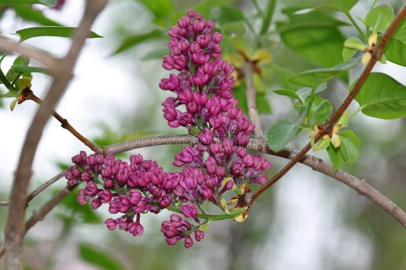 淡紫色花 免版税图库摄影