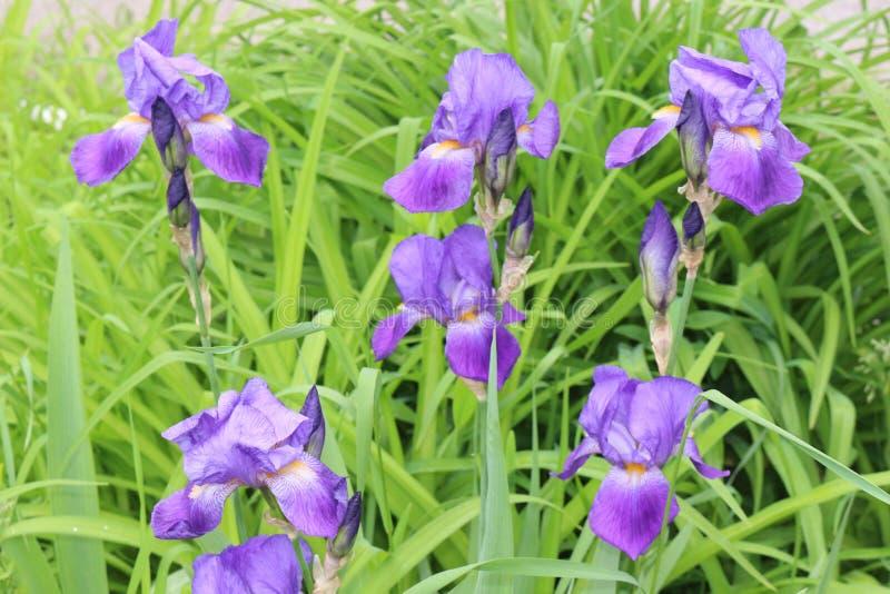 淡紫色虹膜绽放在一张床上在春天 库存照片