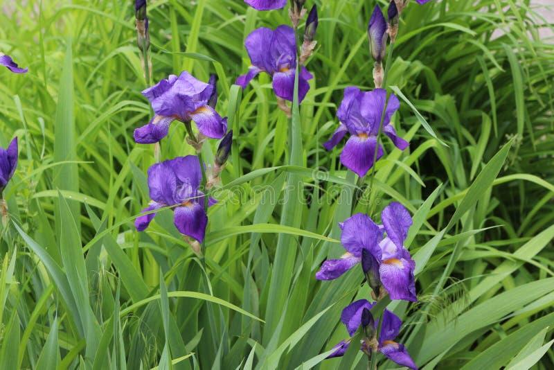 淡紫色虹膜绽放在一张床上在春天 库存图片