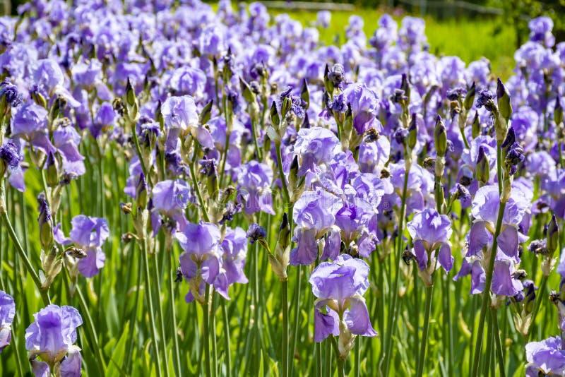 淡紫色虹膜花,五颜六色的虹膜的春天开花在普罗旺斯,在法国南部 图库摄影
