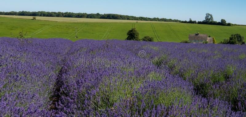 淡紫色行看法在一个领域的在Cotswolds的一个花农场,渥斯特夏英国 免版税图库摄影