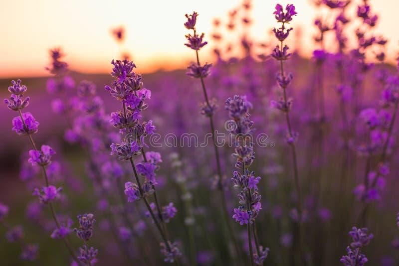 淡紫色软和模糊的焦点开花在日出光下 自然领域特写镜头背景在普罗旺斯,法国 库存图片