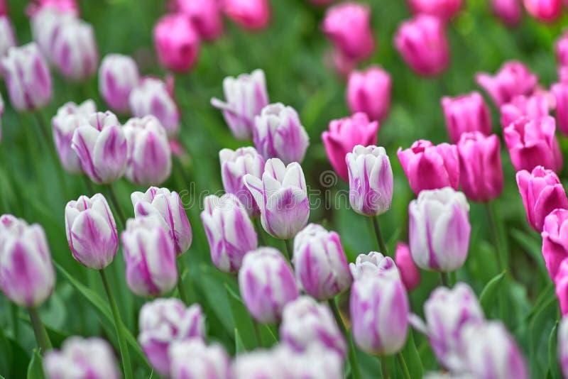 淡紫色郁金香的领域在一好日子 发火焰旗子的各种各样的郁金香 概念春天 免版税库存图片