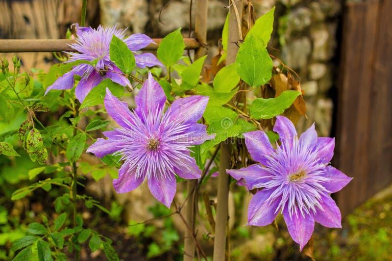 淡紫色铁线莲属 库存照片