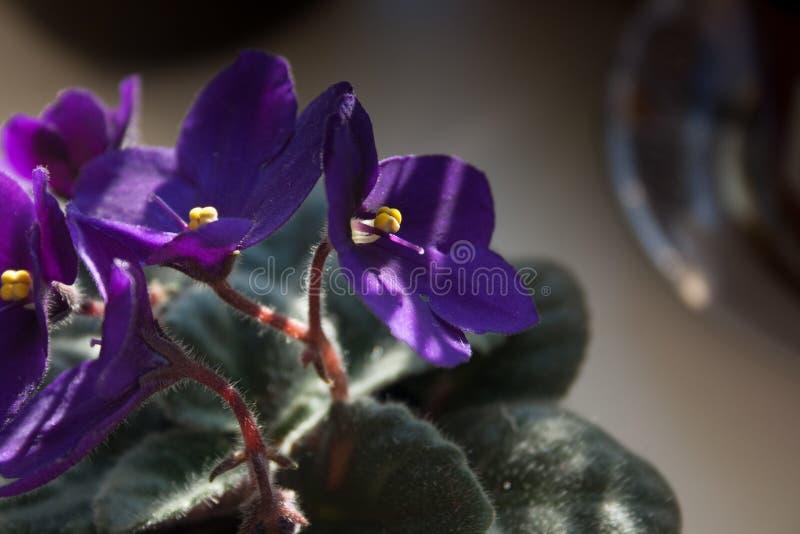 淡紫色非洲紫罗兰花或紫罗兰色非洲堇开花 库存照片