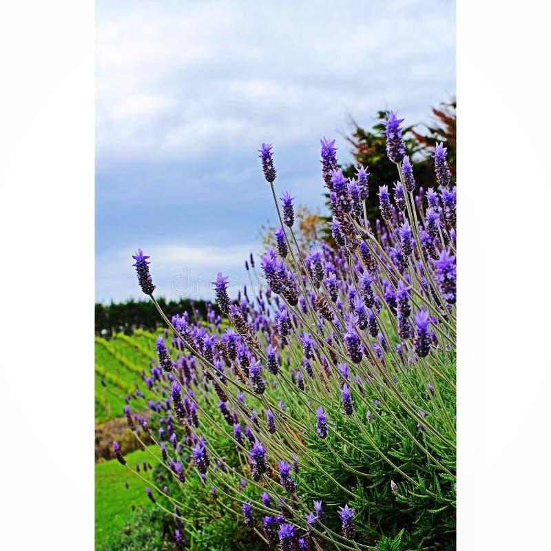 淡紫色领域在新西兰 库存图片
