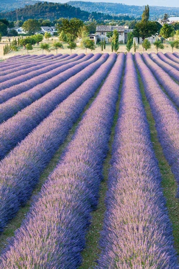 淡紫色领域在普罗旺斯 免版税库存照片