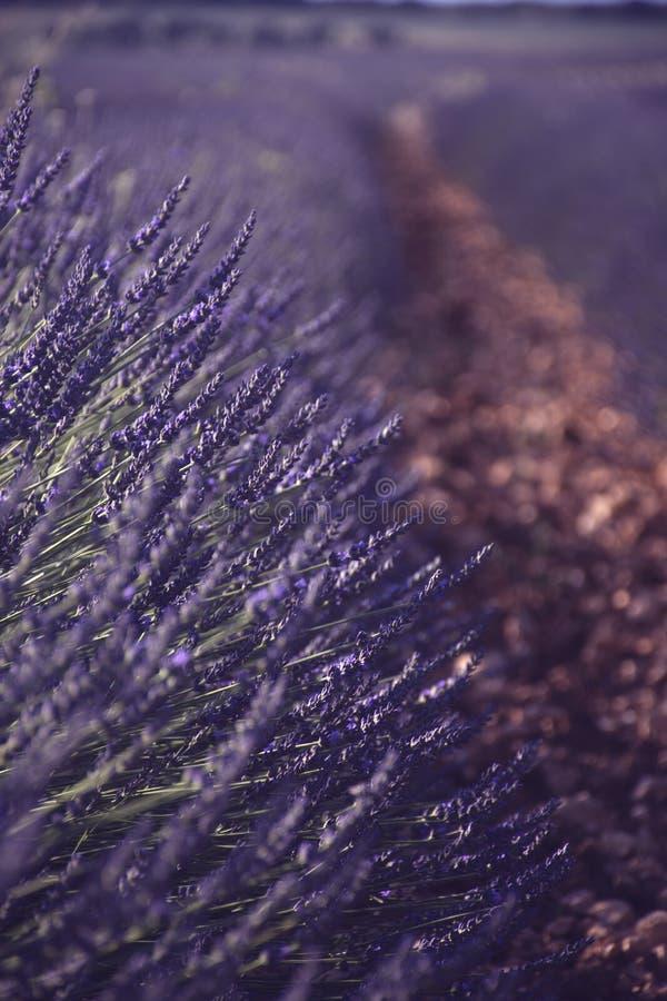 淡紫色领域开了花与光线 免版税图库摄影