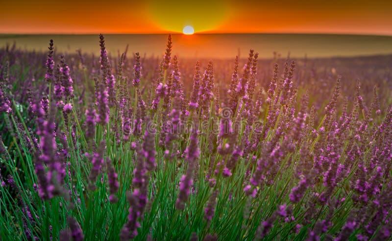 淡紫色领域绽放 库存照片