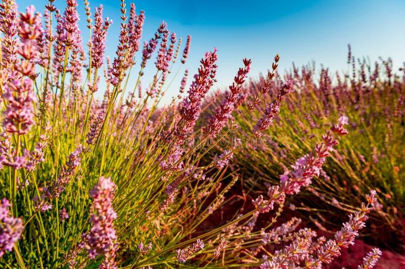 淡紫色领域绽放 库存图片