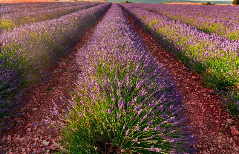 淡紫色领域绽放 免版税库存照片