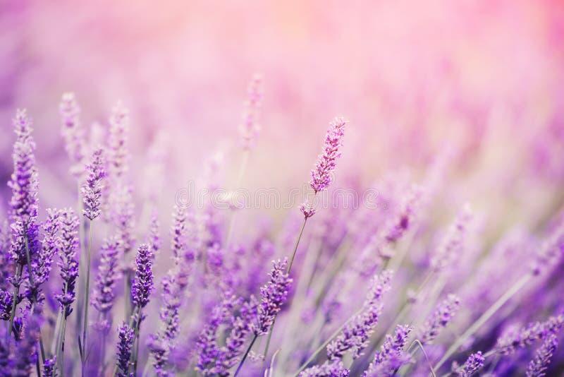 淡紫色,紫色口气阳光特写镜头  梦想,拷贝空间的美妙的不可思议的艺术性的图象 免版税库存图片