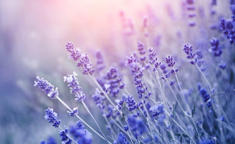 淡紫色 在领域的开花的芬芳淡紫色花,特写镜头 摇摆在风的增长的淡紫色紫罗兰色背景 图库摄影
