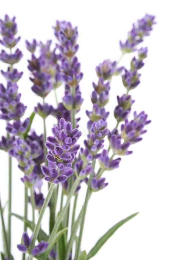 淡紫色 库存图片