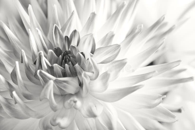 淡色色的大丽花的花 库存图片