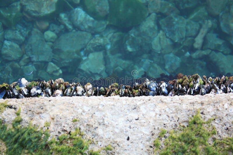 淡菜在亚得里亚海 库存图片