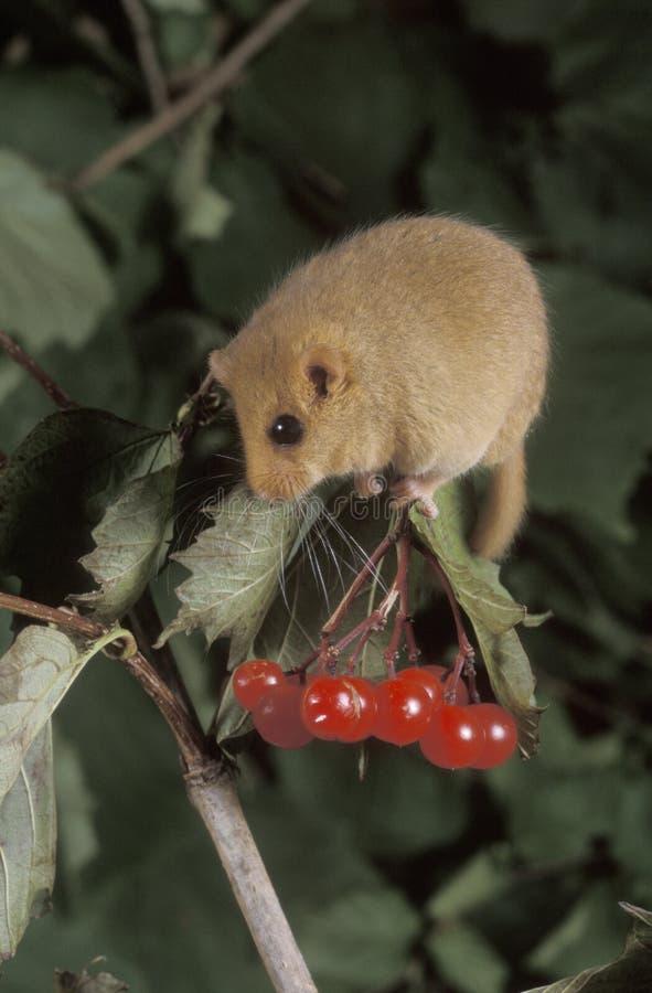 淡褐或共同的睡鼠, Muscardinus avellanarius 图库摄影