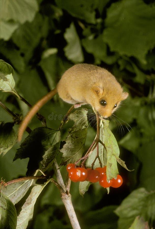 淡褐或共同的睡鼠, Muscardinus avellanarius 库存图片