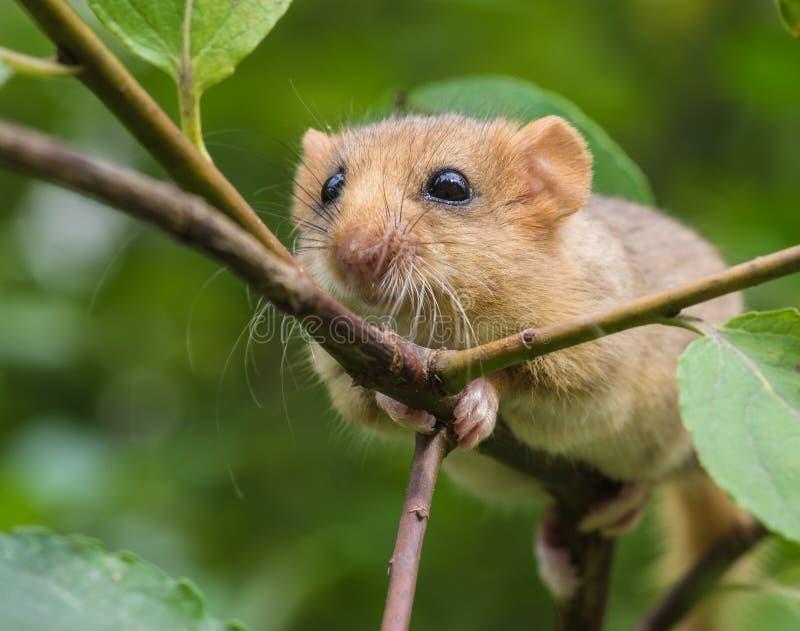 淡褐睡鼠 库存图片