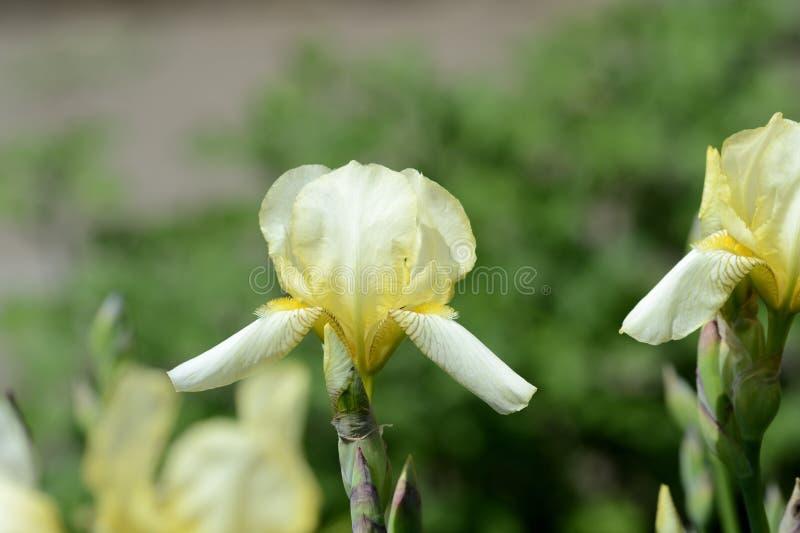 淡黄的虹膜花在夏天庭院里在一明亮的好日子 图库摄影