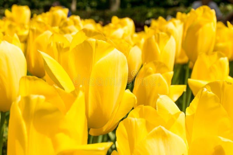 淡黄色郁金香领域 库存图片