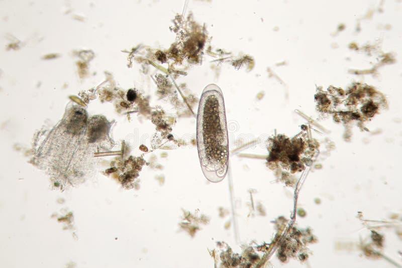 淡水单细胞的微生物 浮游动物超级宏指令 库存图片