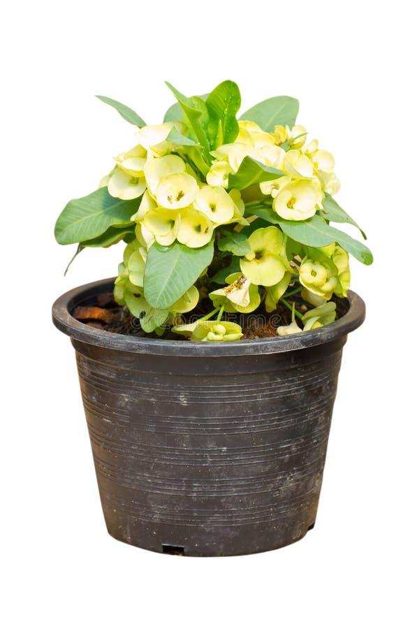 淡黄的铁海棠花,大戟属Milli Desmoul。 免版税库存图片