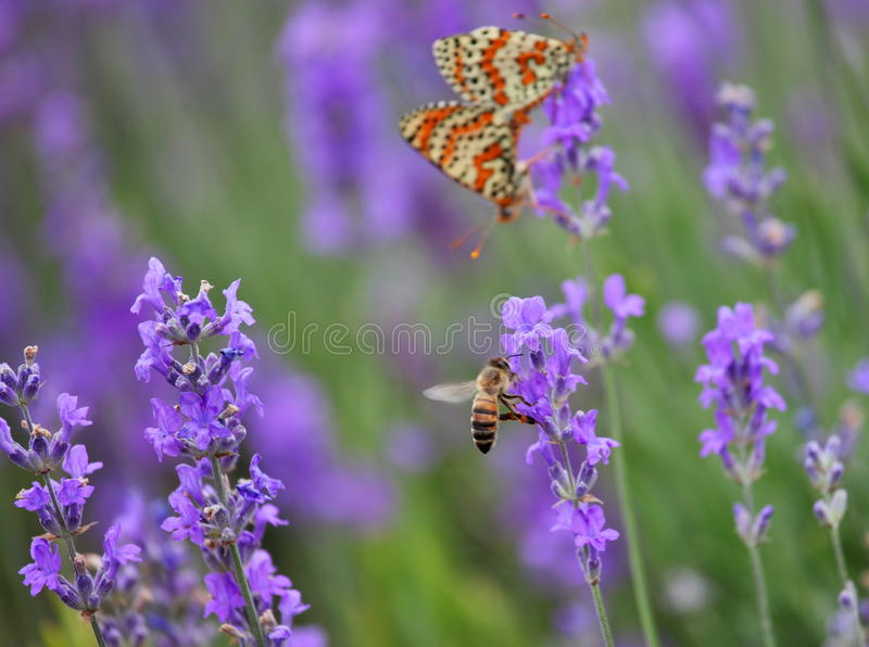 淡紫色、蜂蜜蜂和和联接的蝴蝶 库存图片