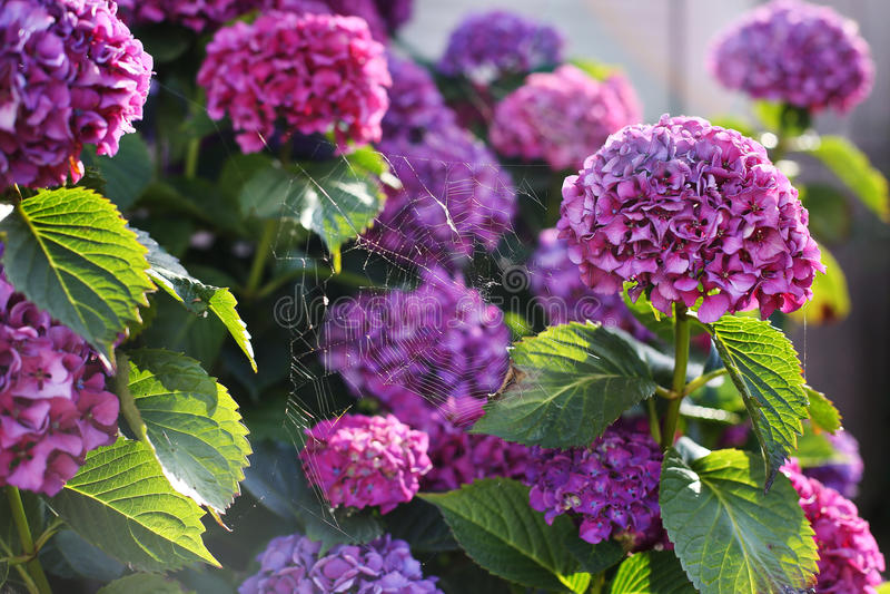 淡紫色八仙花属,蜘蛛网的布什  免版税库存图片