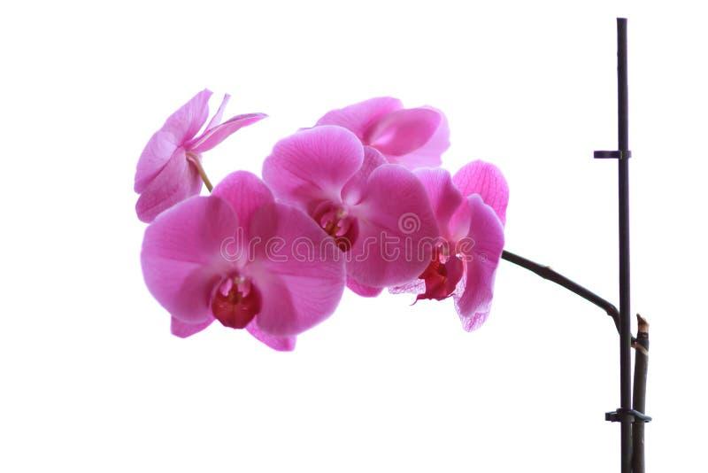 淡紫色兰花 免版税库存图片
