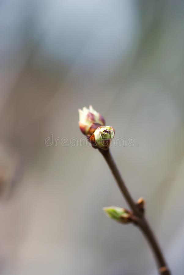 淡紫色叶蕾 免版税库存图片
