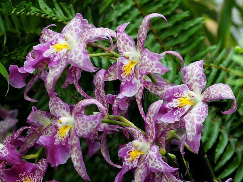 淡紫色和白色兰花 免版税图库摄影