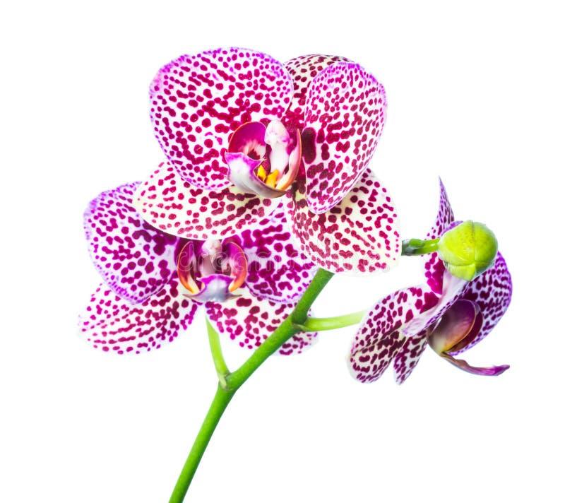 淡紫色多斑点与被隔绝的芽兰花 免版税库存图片