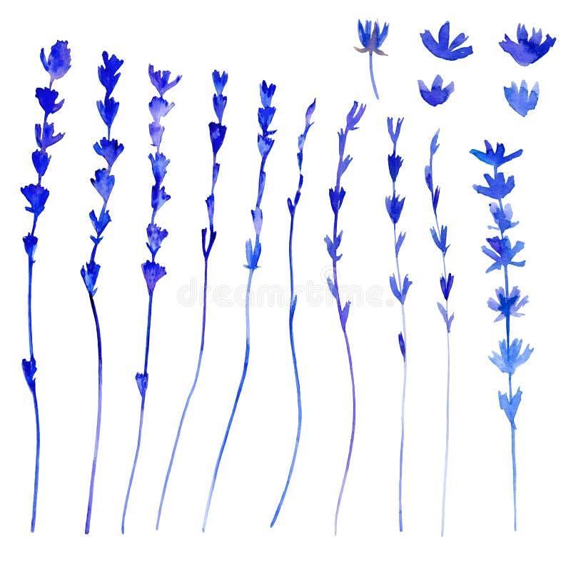 淡紫色开花手拉的在白色,草本葡萄酒收藏隔绝的水彩植物的例证的包裹茶, natur 皇族释放例证