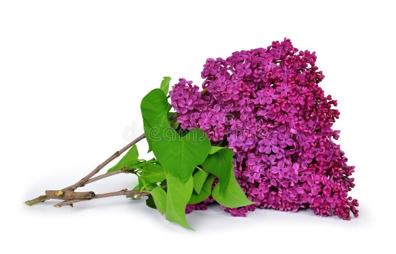 淡紫色开花的花 免版税库存照片