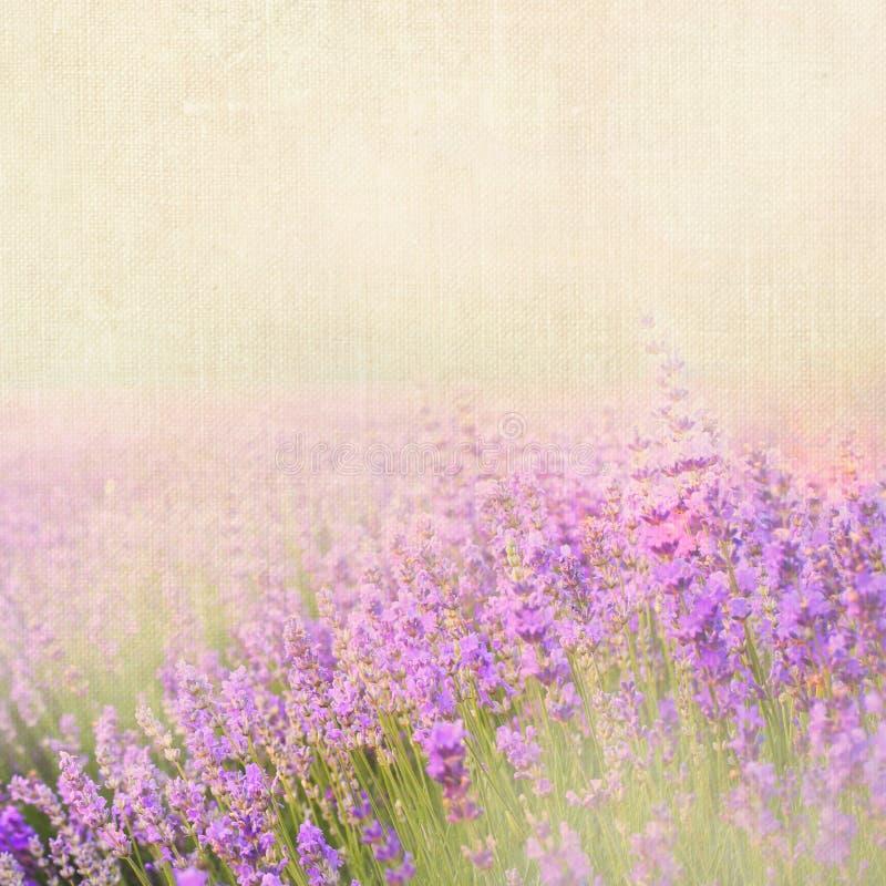 淡紫色棉花 库存照片