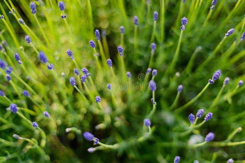 淡紫色植物 库存图片