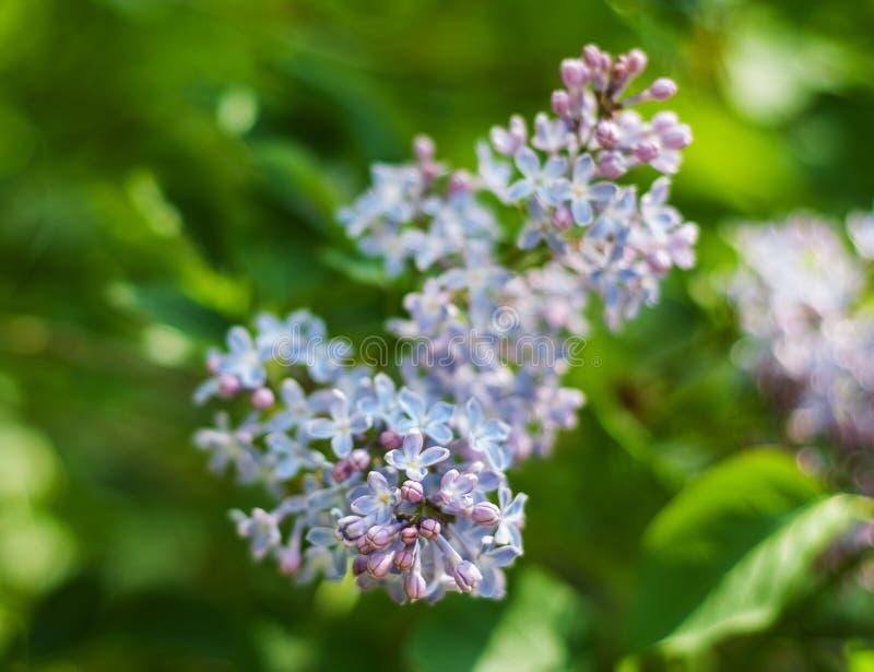 淡紫色灌木开花 免版税库存图片