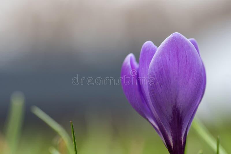 淡紫色番红花花特写镜头 库存照片