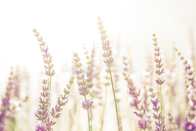 淡紫色花在庭院里,公园,后院,在Th的草甸开花 库存图片